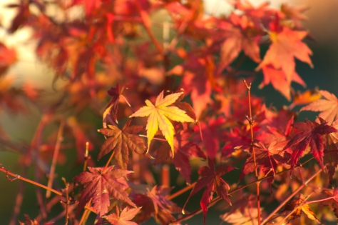 Autumn in my Garden with The Japanese Mapel