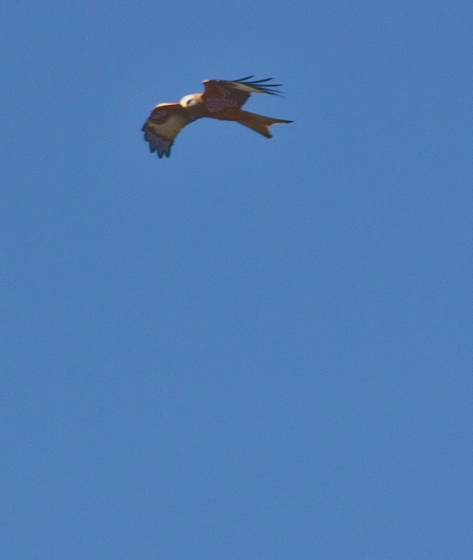 Red Kite Eagles of Harewood House over East Leeds 11th March 2012