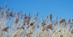 Reeds by The Liverpool Mersey Monday the 26th of March 2012
