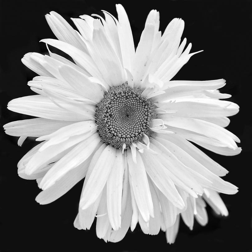 Daisy Black