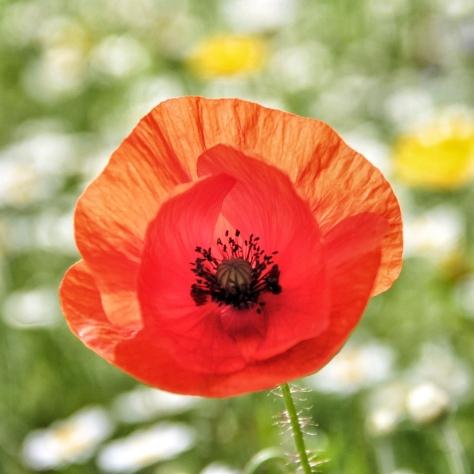 Leeds Poppies MilnersBlog 3