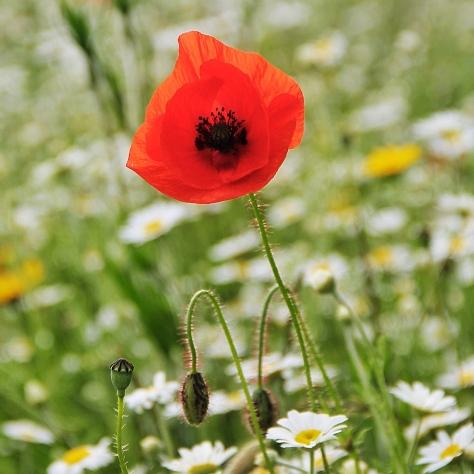 Leeds Poppies MilnersBlog 6