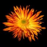 flowers on a black background 7 milnersblog