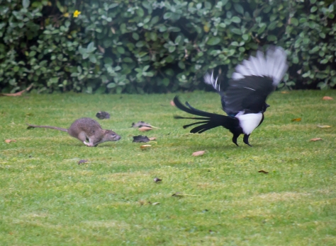 The Rat & Magpie 01 © Carl Milner 2012