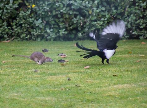 The Rat & Magpie 01 © Carl Milner 2012