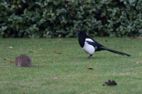 The Rat & Magpie 02 © Carl Milner 2012
