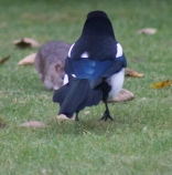 The Rat & Magpie 04 © Carl Milner 2012