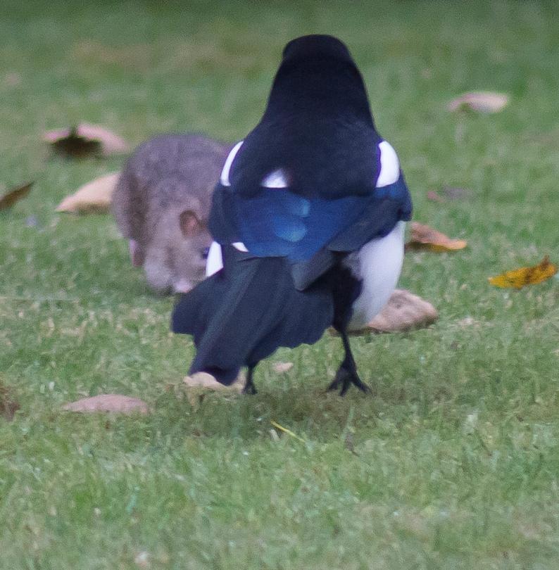 The Rat & Magpie 04 © Carl Milner 2012