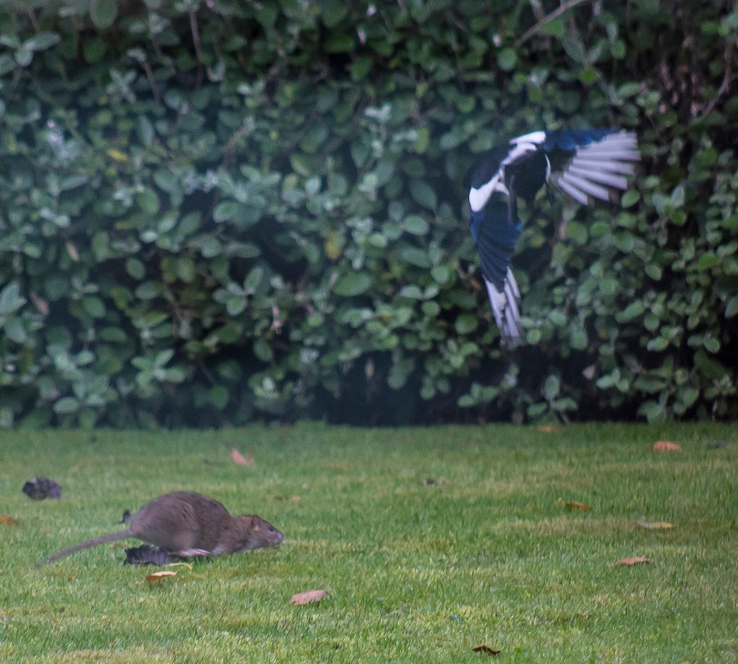 The Rat & Magpie 06 © Carl Milner 2012