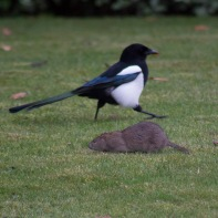 The Rat & Magpie 07 © Carl Milner 2012