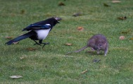 The Rat & Magpie 09 © Carl Milner 2012
