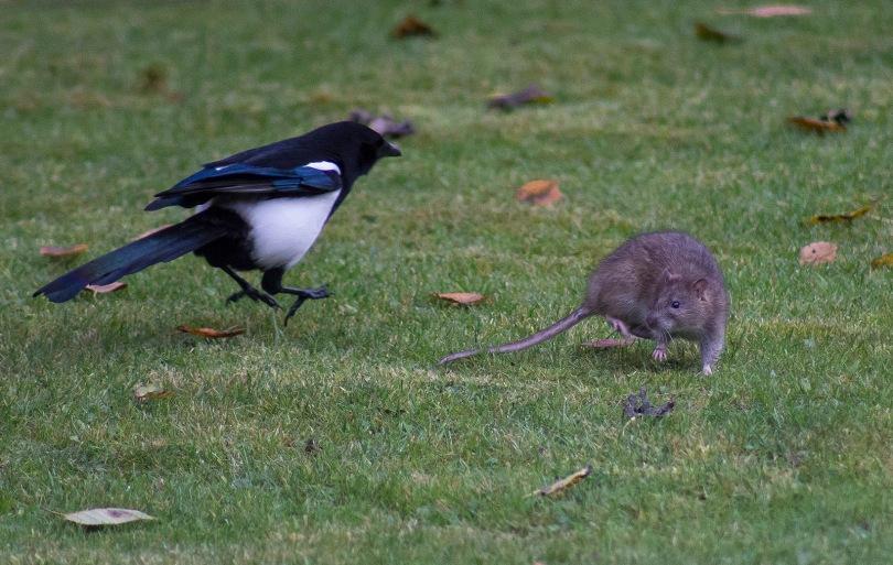 The Rat & Magpie 09 © Carl Milner 2012