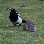 The Rat & Magpie 10 © Carl Milner 2012