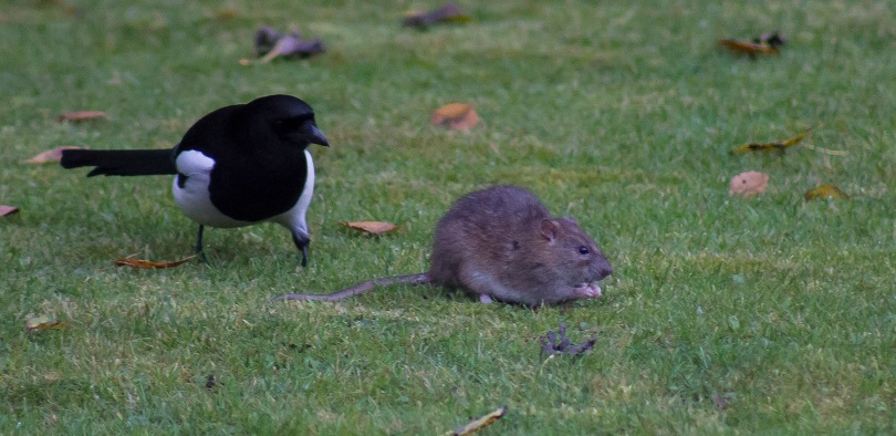 The Rat & Magpie 11 © Carl Milner 2012