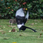 The Rat & Magpie 12 © Carl Milner 2012