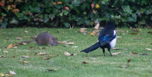 The Rat & Magpie 12a © Carl Milner 2012