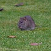 The Rat & Magpie 14 © Carl Milner 2012