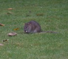 The Rat & Magpie 15 © Carl Milner 2012