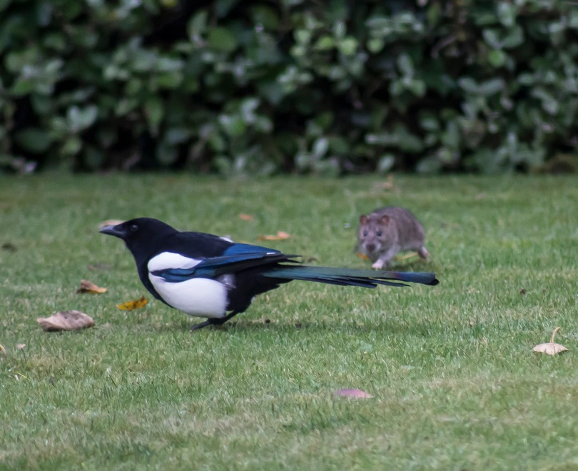 The Rat & Magpie 16 © Carl Milner 2012