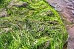 Green Hair Seaweed