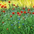 Poppy Love in a field of Green