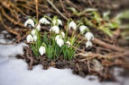 Green Growth of Snowdrops