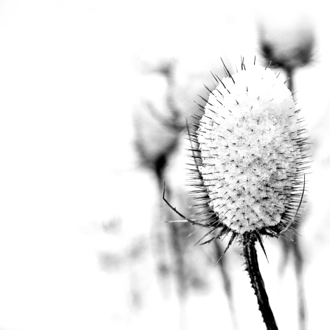 Teasle flower at Temple Newsam in the Snow