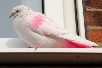 The 'Real' Pink Pigeon?