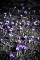 Sea of Crocus