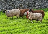 Sheep racing at Kettlewell Mayfest © Carl Milner 2015