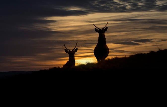 stags-at-sunset